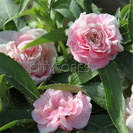 Wholesale Impatiens Flower - 100 Pink Double Camellia Impatiens Touch-Me-Not Camellia Impatiens Balsamina Flower Seeds Easy to grow Ideal Flower Beds and Borders