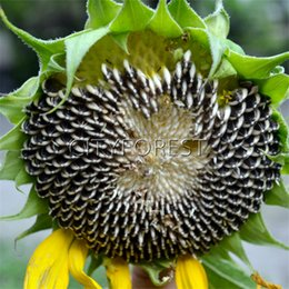 Wholesale Sunflower Seeds Wholesale - Giant Sunflower 50 Seeds for Planting Edible NON-GMO Heirloom Vegetable Productive Easy-growing Popular DIY Home Garden Plant