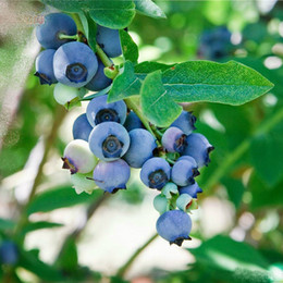 Посадка черники онлайн-Овощи и фрукты семена черника семена Черный жемчуг черника DIY Countyard бонсай семена растений для дома сад 50 шт.