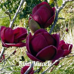 Редкие Темно-Фиолетовый Черный Магнолия Юлань Дерево Цветок Тюльпан Дерево Семена, 10Seeds / пакет, душистый цветок для домашнего саженца сада от Поставщики ароматные цветы