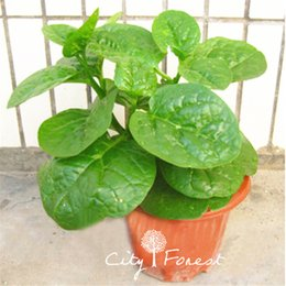 Wholesale Gardening Spinach - 200 Pcs Dwarf Malabar Spinach Seeds Great for DIY Home Garden Heirloom Potted Bonsai Vegetable Easy-growing