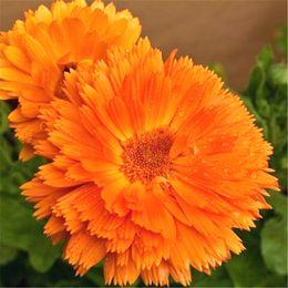piante da giardino fragranti Sconti Orange Calendula Flower 200 Seeds Pot calendula Fragrante Easy-growing DIY Home Garden Bonsai Container Paesaggio Lungo impianto di fioritura