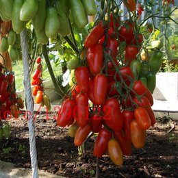 Wholesale Plant Cherry Seeds - fast shipping big cherry tomato tree seeds italy new tomato seeds NO-GMO fruit and vegetable seeds for home garden planting