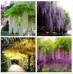 Wholesale Ornamental Trees - 100pcs lot Wisteria Seeds ,rare bonsai wisteria tree seeds Indoor ornamental plants flower seedsPurple yellow white pink Mix
