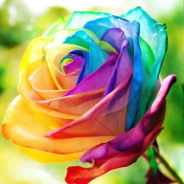 Wholesale Home Growing - 30 Seeds pack Rare Holland Rainbow Rose Seeds Flower Home Garden rare rainbow rose flower seeds Easy to grow