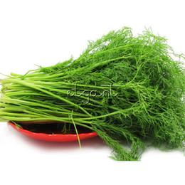 Semi gmo online-Dill Herb 200 Seeds Contenitore per cimelio non OGM di facile coltivazione Balcone Verdura Molto facile da coltivare in vaso o in giardino