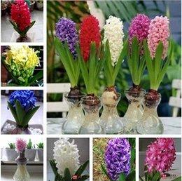 Argentina Semillas de flores aromáticas, importadas de los bulbos de jacinto de Holanda, bulbos de jacinto hidropónicos, (colores mezclados) 2pcs liberan el envío Suministro