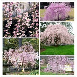 Wholesale Ornamental Garden Trees - Gorgeous 5Pink Cherry Tree Seeds Ornamental Ideal Garden Present