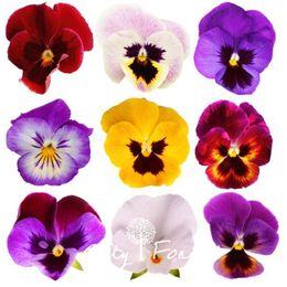 Pansies semi online-Giant Pansy Viola Fiore 100 Semi Mix Colore Hardy Facile da Coltivare Ottimo per DIY Home Garden Bonsai Contenitore Paesaggio Decorazione