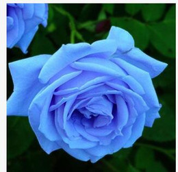 blue rose charms Promo Codes - Free Shipping Blue Enchantress Rose Seeds *10 Pieces Seeds Per Package* New Arrival Ombre Charming Garden Plants