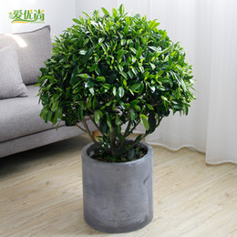 Wholesale Africa Flowers - 30pcs Africa Jasmine potted bonsai office indoor air purification of seed plants of large seed plants and flowers3