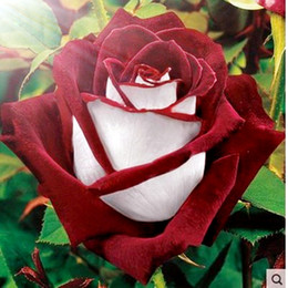 blue seed Coupons - Hot Sale FREE SHIPPING 100 Seeds Beautiful flowers Rose Seeds Purple Red White Pink Yellow Green Blue Home Plant Garden Seeds