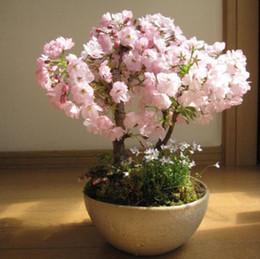 semi di rosa all'ingrosso arcobaleno Sconti 1 confezione professionale, 10 semi / confezione, fiore di ciliegio giapponese Sakura seme orientale ciliegia Bosai fiore seme miracolo di terra