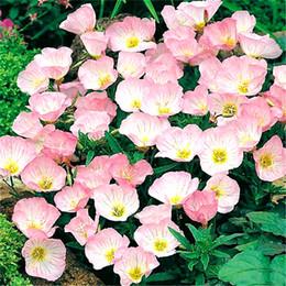 Wholesale flower germination - Showy Pink Evening Primrose Flower 1000 Fresh Seeds flowering vigorous ground cover Perennial Landscaping Flower High Germination Rate