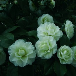 A Pack 100 Pcs Tansei Camellia Seeds Piante in vaso Giardino di fiori Semi di piante ornamentali in vaso Semi di camelia comuni supplier common potted plants da piante in vaso comuni fornitori