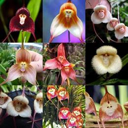 Semi di fauna di scimmia online-semi di orchidee rare, semi di orchidee Beautiful Monkey face, più varietà di semi di bonsai 100 pz / pacco