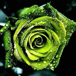 Wholesale Chinese Rose Seeds - Chinese Green Rose Seeds lover Golden Green Rose Seeds Strong Fragrant Garden Rose Flower 100 Seeds   bag
