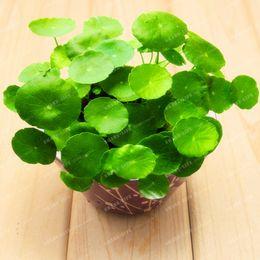 Wholesale Best Aquarium Plants - Potted 50 seeds Hydroponics Flower Aquarium Plants Penny Grass Seeds Best Indoor Bonsai Plant Hydrocotyle Vulgaris Seeds