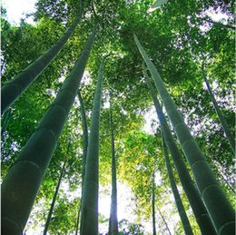 Wholesale Giant Wholesale - Tree Seeds Fresh Giant Moso Bamboo Seeds for DIY Home Garden Plant