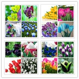 10PC senior seme di tulipano palla (non è un seme di tulipano) giardino fiore pianta da semi di tulipani fornitori
