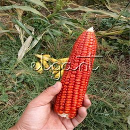 Wholesale Vegetable Fast - Sweet Waxy Red Corn 50 Pcs Seeds High Yield Waxy Corn DIY Garden Plant Novelty Vegetable Seed Easy and Fast-growing