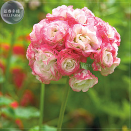 Wholesale Geranium Seeds - BELLFARM Geranium 'Apple Blossom Rosebud' Seeds, Professional Pack, 10 Seeds, perennial big blooms perennial pelargonium E4215