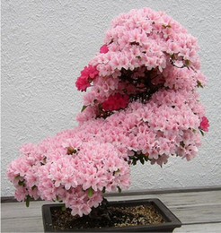 Buy Japanese Cherry Blossom Seeds Online Shopping At Dhgate Com