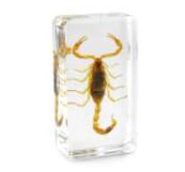 Campione di Scorpione dorato Resina acrilica Incorporato Kit di insegnamento di scienze biologiche reali Scorpione Mouse trasparente Fermacarte Kid Nuovi giocattoli da giocattoli scorpions fornitori
