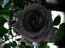 flores impresionantes Rebajas China Rare Black Rose semillas de flores Balcón en maceta Barrera Flores semillas Plantas de jardín 50 semillas por lote