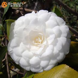 Confezione da 100 pezzi Camelia bianca Semi Piante in vaso Terrazzo sul tetto Giardino di fiori Semi in vaso Bonsai Semi di albero Camelia comune da