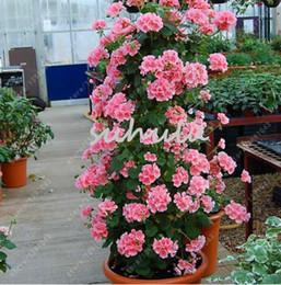 fleurs grimpantes Promotion 100 pcs / sac bonsaï escalade graine de géranium, graines de fleurs en pot rares, cour balcon extérieur plante pour la maison jardin