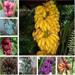 Wholesale organic homes - 200 pcs Rare banana seeds, bonsai fruit seeds,10 colours to choose,Organic Heirloom seeds,plant for home garden