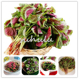 Crescente semi di vaso online-Semi Fiori Amaranthus Tricolor, 50 pc Bougainvillea Fiori Semi giardino domestico di DIY Pianta in vaso Delicious Vegetable Seeds Facile crescere liberi