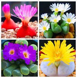 50 pz / pacco, Rare Mix Lithops Semi Living Pietre Cactus Succulente Organic Garden Bulk semi di fiori, pianta bonsai per balcone da