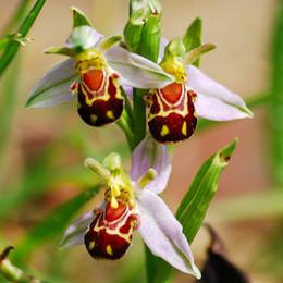 Barcos interesantes online-Envío Gratis 50 Semillas de China Rara Flor Abeja Orquídea Flor Semilla Sonrisa Cara Interesante Semilla de Flores