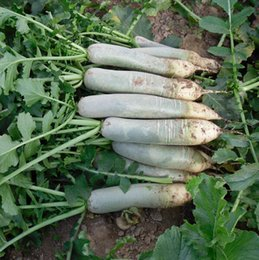 Wholesale Chinese Seeds - chinese vegetable seeds Green radish , succulent fruit seeds 100 particles bag