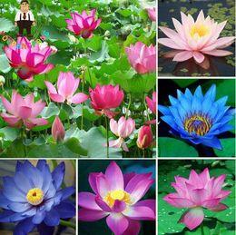 Wholesale Lotus Flower Bowl - 10pcs bag lotus flower lotus seeds Aquatic plants bowl lotus water lily seeds Perennial Plant for home garden