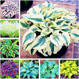 Wholesale grass shades - 100 pcs bag, Hosta Plants seeds Perennials Lily Flower Shade Hosta Flower Grass Seeds Plants for Home and Garden Purify The Air