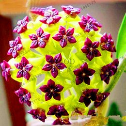 Wholesale Perennial Flower Plants - New Fresh Seeds Hoya Seeds,Potted Hoya Carnosa Flower Seed Garden Plants Perennial Planting Orchid Seeds 30 Pieces Pack,#IRJ4ZT