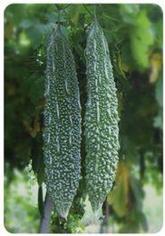 Semi di castagno organico online-Zucca di melone amaro organico verde Suntoday Ampalaya 2018 Heirloom ibrido Non-OGM Orto Semi Semi freschi