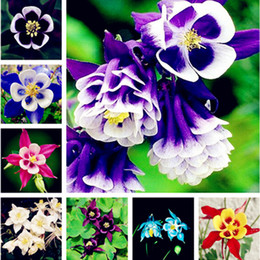 Wholesale Growing Perennials - Hot Sale 100 Pcs Garden Columbine Aquilegia Seed Mixed Color Perennial Flower Great for Home Garden and Landscape Planting Easy-growing