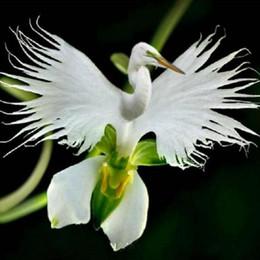 2019 mundos flor 50 Unidades / pacote Japonês Radiata Sementes Egret Branco Sementes de Orquídea Mundo Espécies Orquídeas Brancas Branco Flores Baison Orquídea Jardim mundos flor barato
