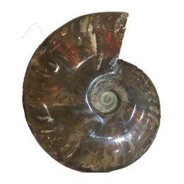 Аммонитовая оболочка онлайн-Оптовая продажа высокого качества естественного радужного аммонита ископаемого океана раковины Радуга Shell Specimen Madagascar MInerals Drop Shipping