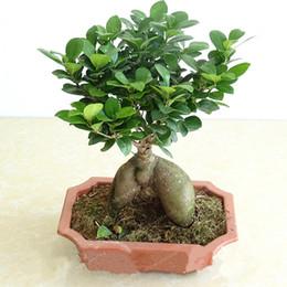 semi di erbe di eroi Sconti 30 Pz Esotico Bonsai Albero Banyan Tree Seme Scrivania Ficus Ginseng Semi Perenne Ficus Microcarpa Il Tasso di Erba 95%