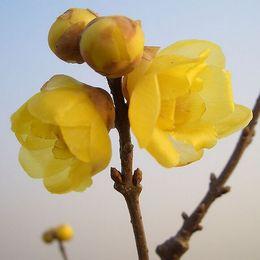 piante da giardino fragranti Sconti giardino di fiori Seeds Wintersweet, Fragrante Winter Flower albero semi di piante 10 particelle / sacchetto