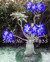 2019 semillas enanas 2 Unids Desert Rose Semillas Balcón Bonsai Flores Ornamentales Adenium Obesum Semillas Absorción de Formaldehído Semillas de Flores para la venta