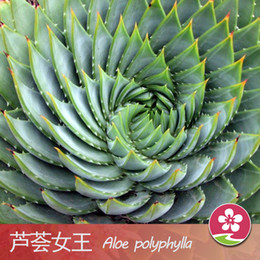 Wholesale Paper Gardens - 100 Pieces Bag Best-Selling South Africa Succulent Seeds Rotate Aloe Seeds Bonsai Plants Home Gardening Flower Pots Balcony Flower Seed