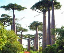 20 pz rare africa albero baobab semi di alta qualità rare semi di baobab pianta tropicale albero gigante semi per la casa giardino piantare cheap giant tree seeds da semi di alberi giganti fornitori