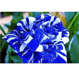 blue seed Promo Codes - Cheap Rose Flower Seeds 200 Seeds Per Package Blue And White Mixed Color Balcony Potted Flowers Garden Plants