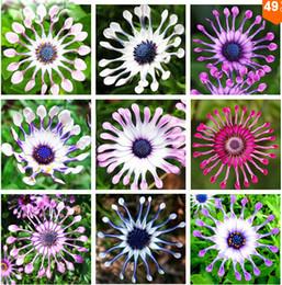 100 pz / borsa semi di Osteospermum, semi di margherita, fiori osteospermum, 8 colori, semi di fiori bonsai, natura pianta in vaso per giardino di casa da